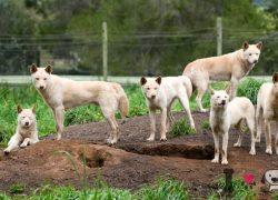 perros de raza Dingo