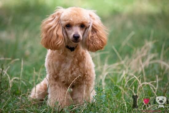 perro raza caniche