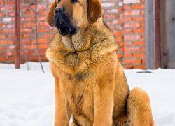 perro raza mastín español