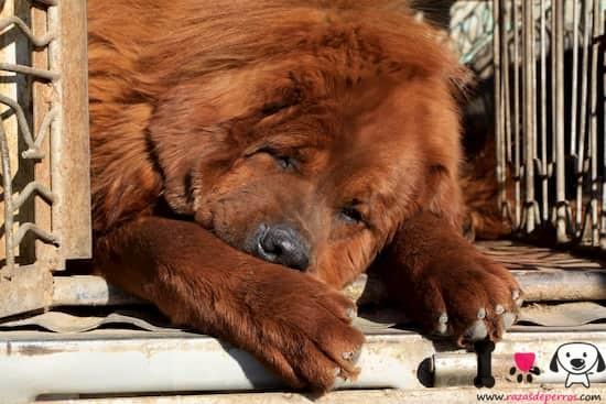 preciosa hembra de mastín tibetano durmiendo