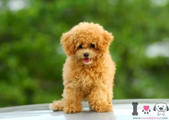 precioso cachorro de caniche mini