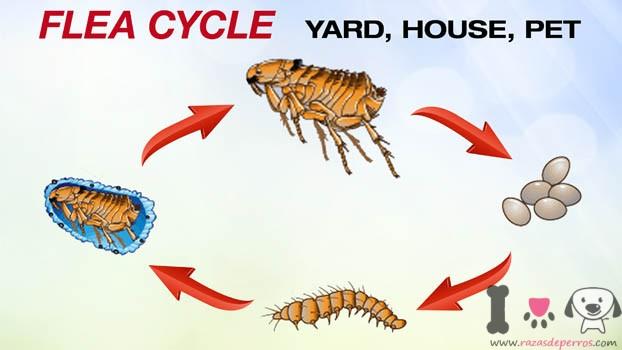 pulga-ciclodevida
