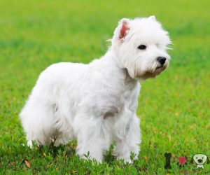 West highland terrier adulto