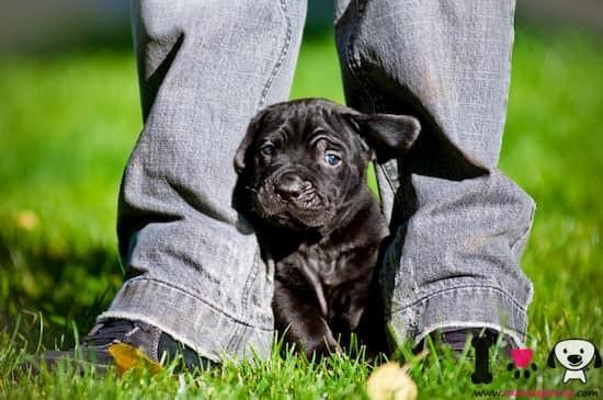 cachorro de cane corso