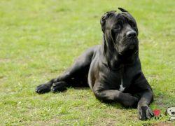 perro macho de la raza cane corso