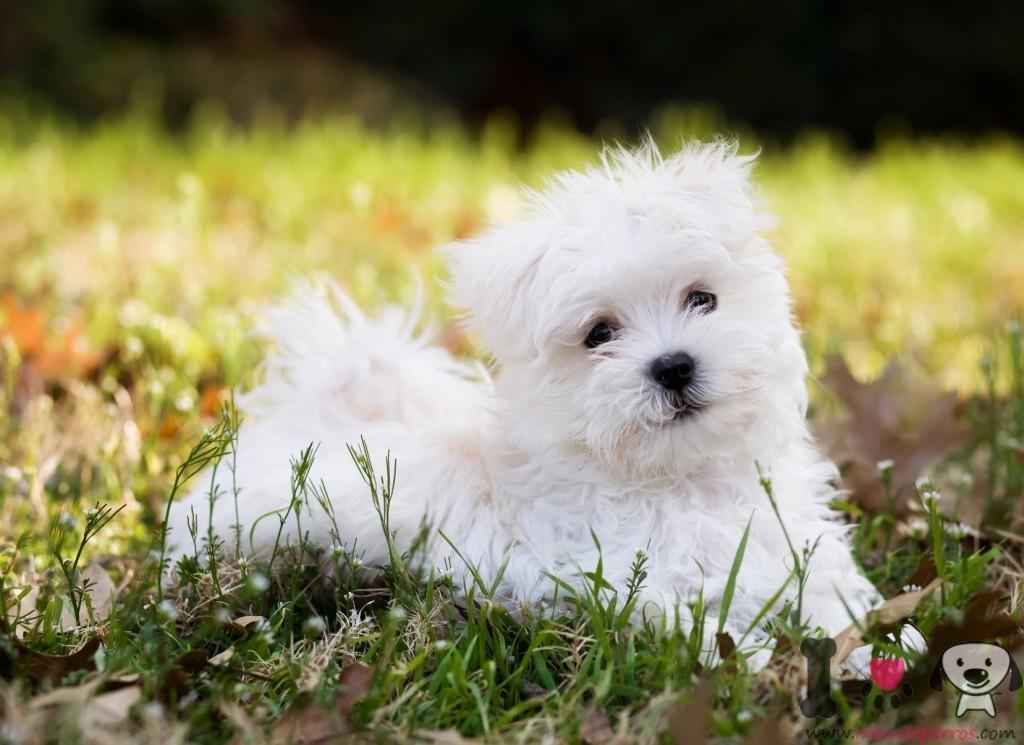 cachorro de bichón maltés