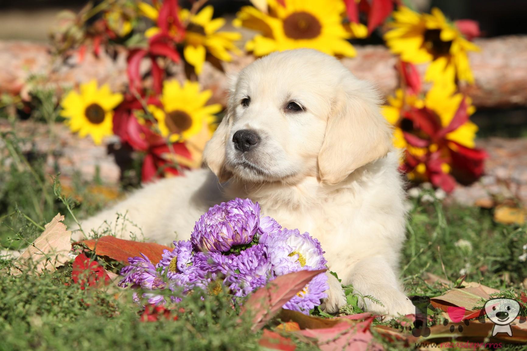 Cachorro de golden retriever en el césped