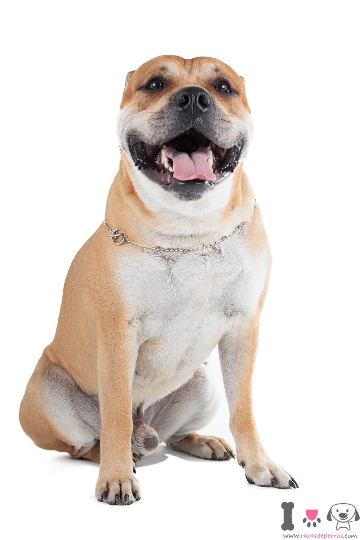 Dogo mallorquin