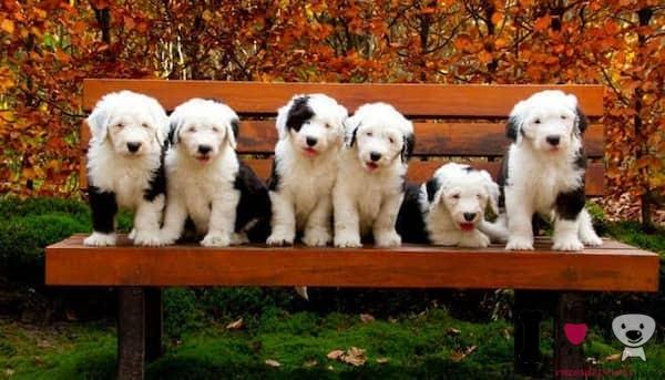 cachorros bobtail