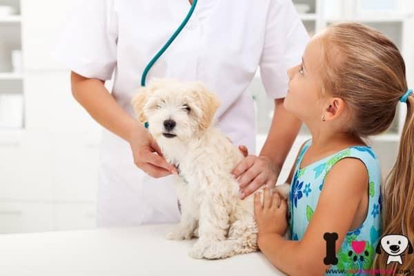 perro blanco en el veterinario