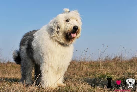 Perro raza bobtail