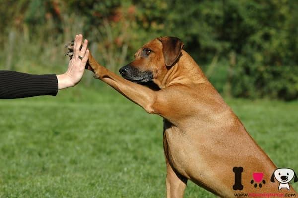 perro viejo dando la pata a su dueña