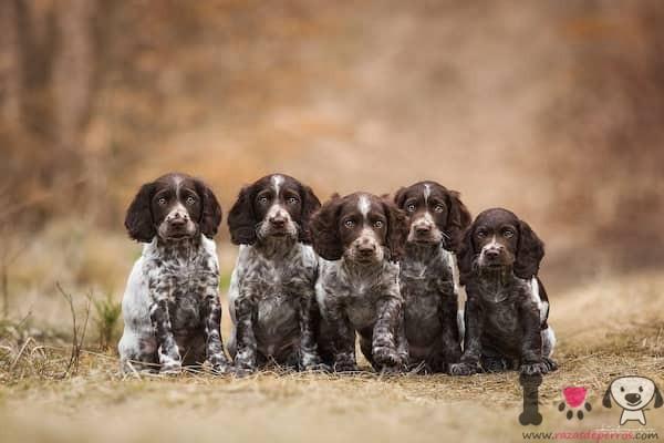 5 cachorros de spaniel alemán blanco chocolate