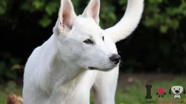 Perro de Canaán blanco