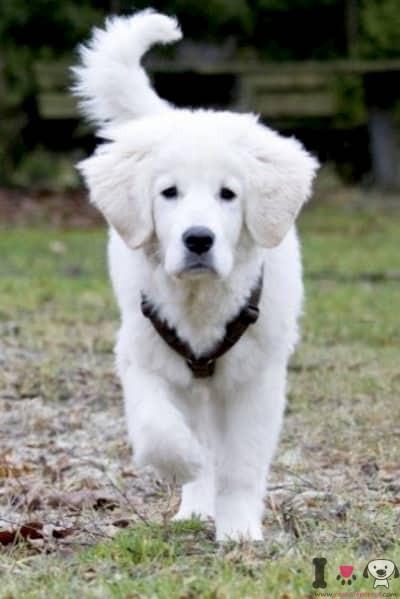 cachorro de Pastor de Tatra