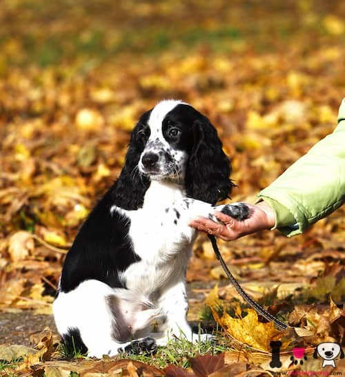 cachorro de spaniel ruso
