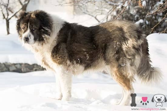 hembra de la raza pastor caucásico