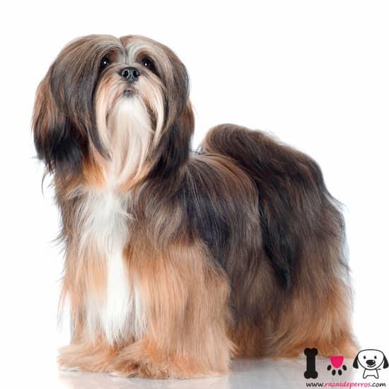 perro raza lhasa apso color marrón oscuro, blanco y canela
