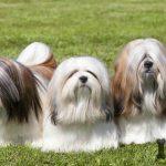 Razas de perros peludos más populares