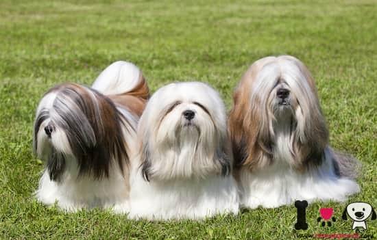tres perros de la raza Lhasa Apso