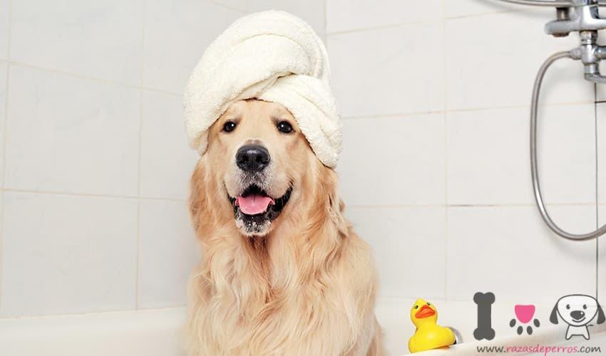 golden retriever dándose un baño