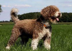 Perro de agua español blanco y marrón