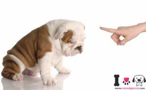 bulldog castigado por morder unas zapatillas