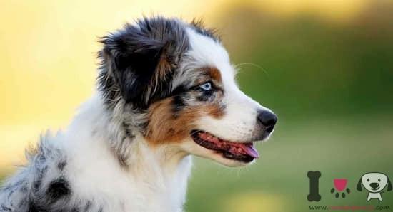 cachorro de pastor australiano con 3 meses