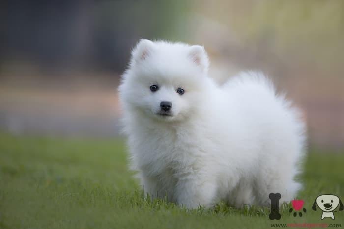 cachorro de spitz japonés