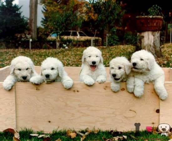 cachorros de komondor