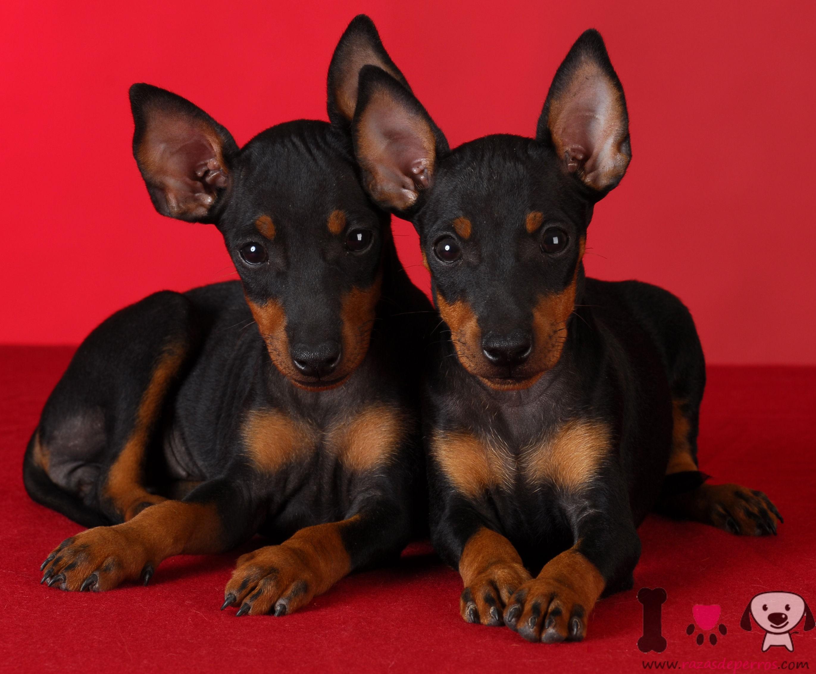 Cachorros de manchester terrier negros