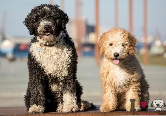 dos perros de agua español