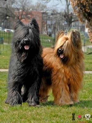 dos perros pastor de brie negro y marrón