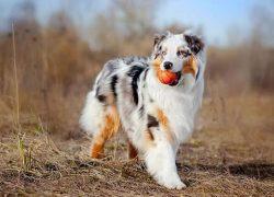 macho de pastor australiano con una pelota en la boca