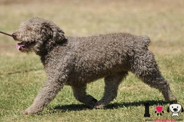macho gris de perro de agua español