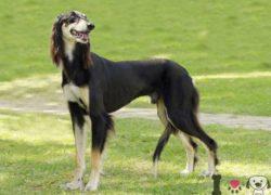 perro de la raza saluki