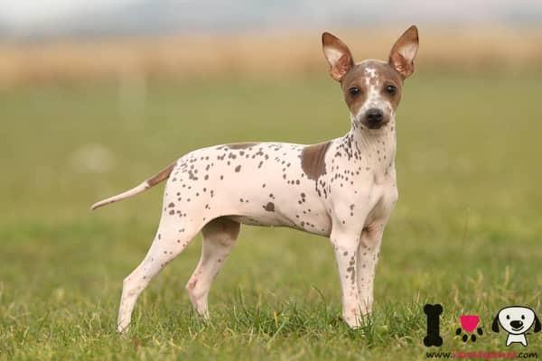 perro de la raza sin pelo del perú