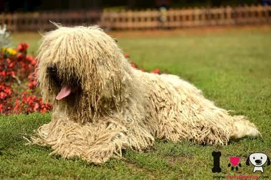 perro de raza komondor