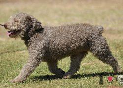 perro de agua español color gris