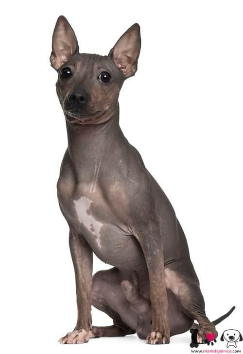 terrier americano sin pelo color gris oscuro