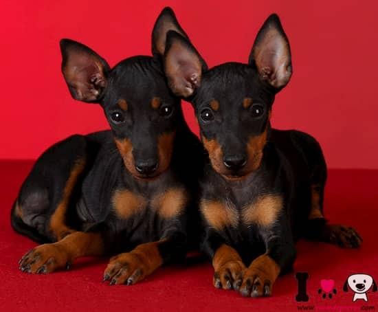 dos cachorros de manchester terrier