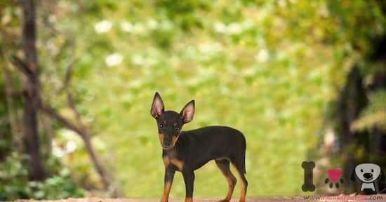 perro manchester terrier tamaño toy