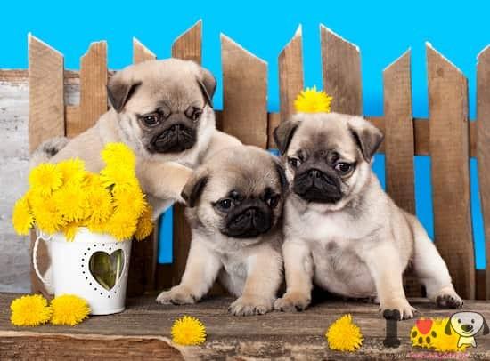 tres cachorros pug en un banco