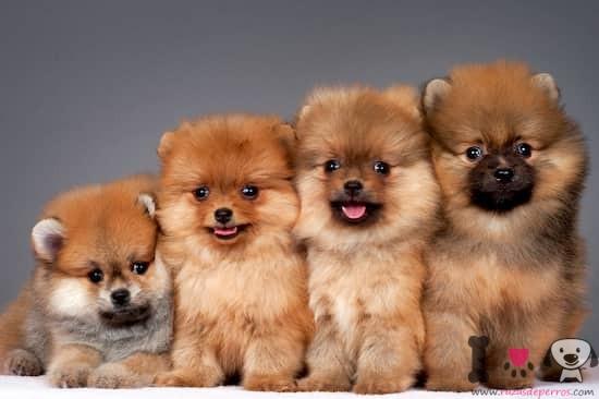 4 cachorros de lulú de pomerania