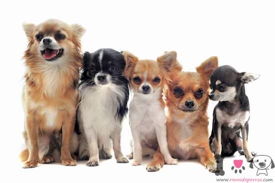 5 perros de raza chihuahua