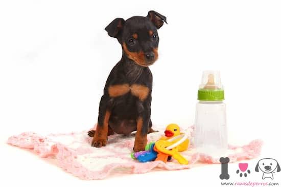 Cachorro doberman con dos meses de edad