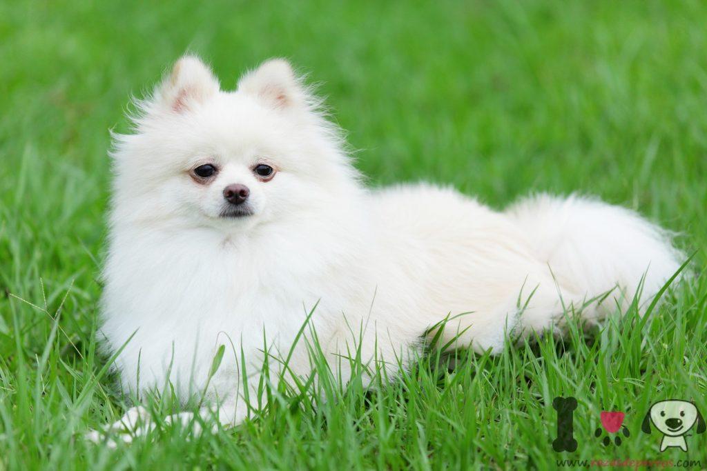Foto Lulú de pomerania blanco