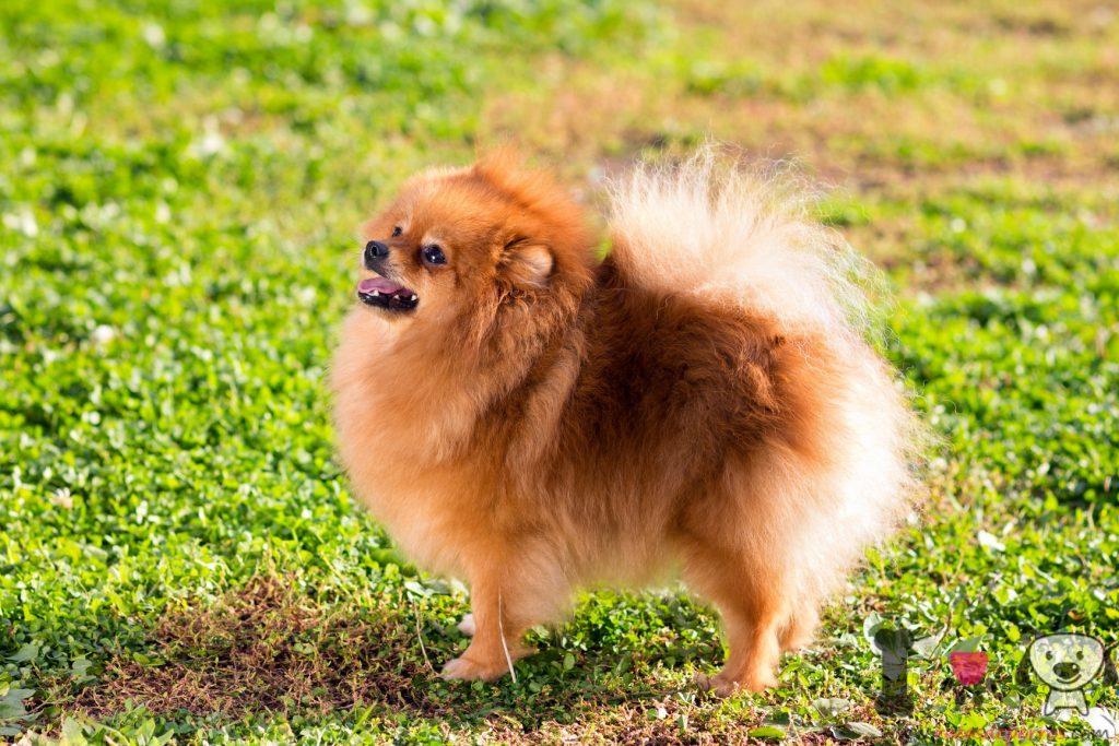 Pomerania adulto en el césped