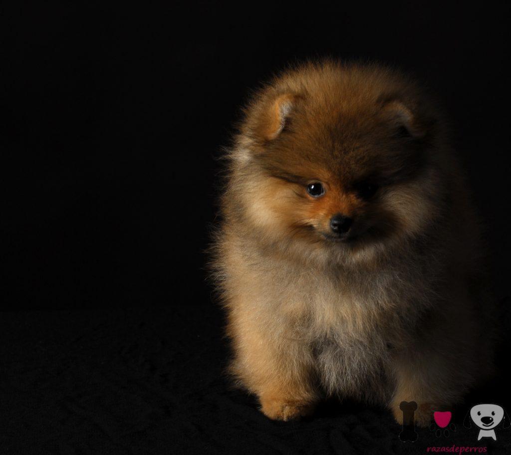 Foto Cachorro de Lulú de pomerania