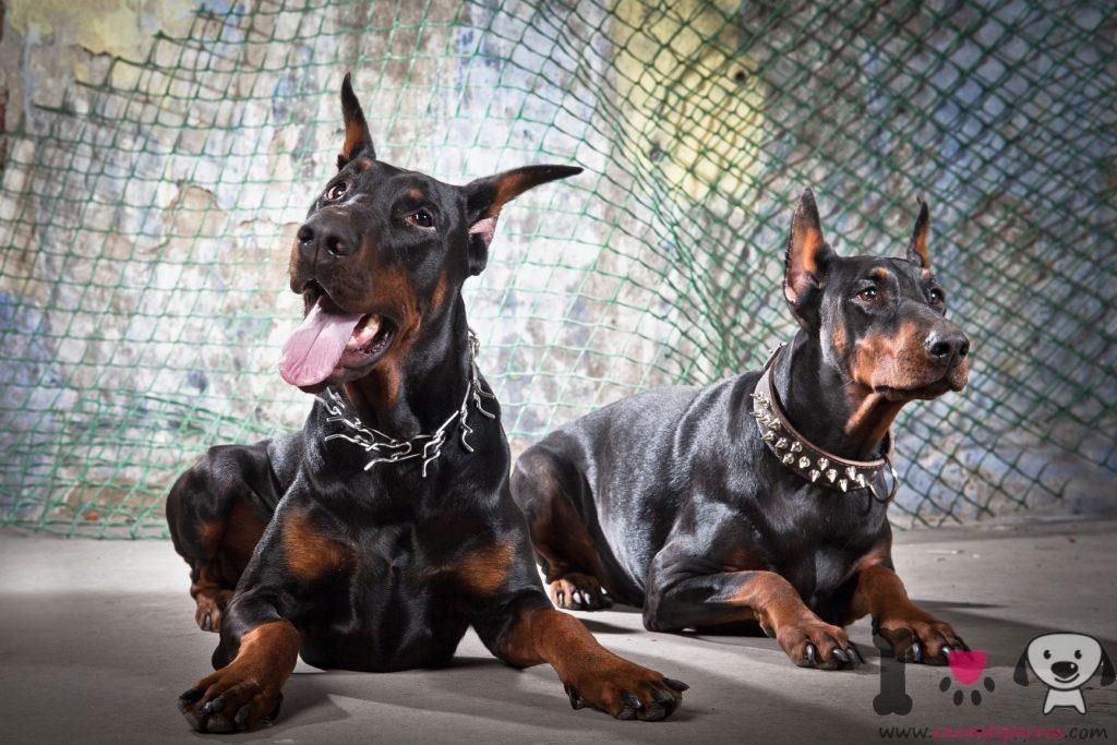 Dos perros doberman